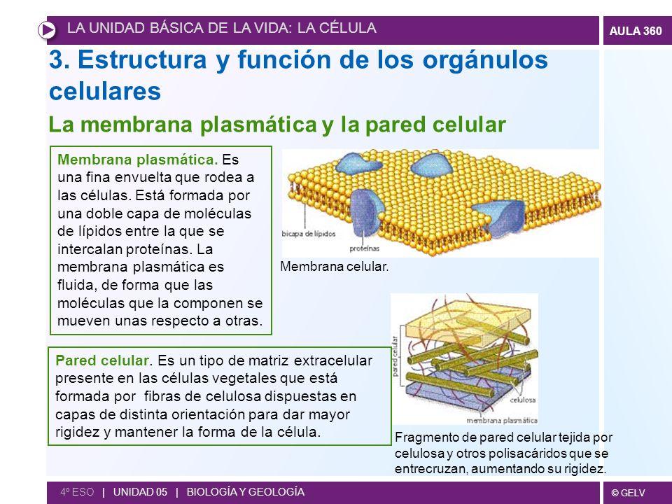 © GELV AULA 360 4º ESO | UNIDAD 05 | BIOLOGÍA Y GEOLOGÍA 3. Estructura y función de los orgánulos celulares Fragmento de pared celular tejida por celu
