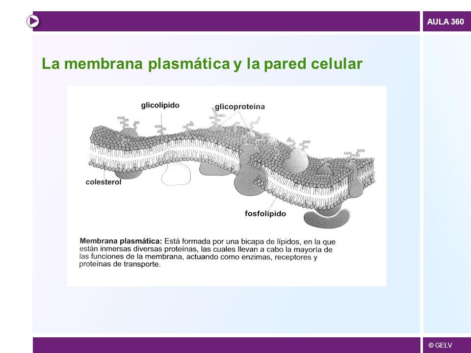 © GELV AULA 360 La membrana plasmática y la pared celular