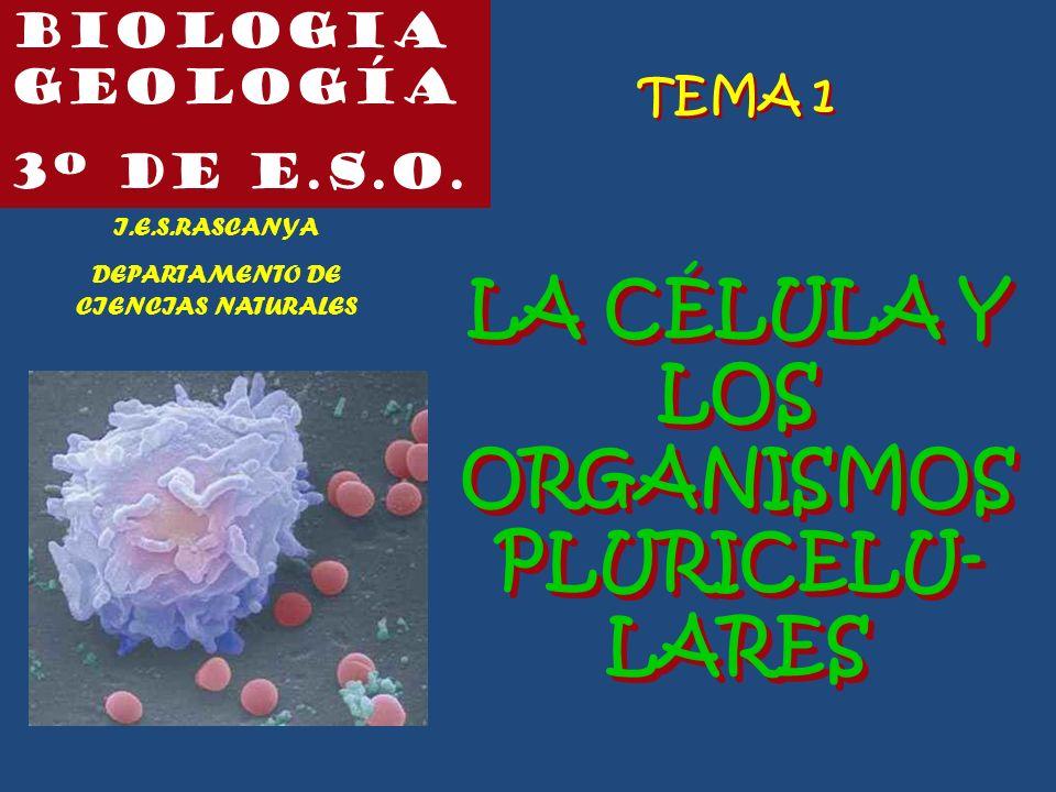 Biologia geología 3º de e.s.o. I.E.S.RASCANYA DEPARTAMENTO DE CIENCIAS NATURALES TEMA 1 LA CÉLULA Y LOS ORGANISMOS PLURICELU- LARES