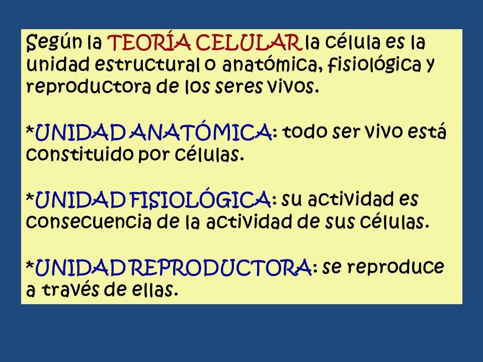Según la TEORÍA CELULAR la célula es la unidad estructural o anatómica, fisiológica y reproductora de los seres vivos. *UNIDAD ANATÓMICA: todo ser viv