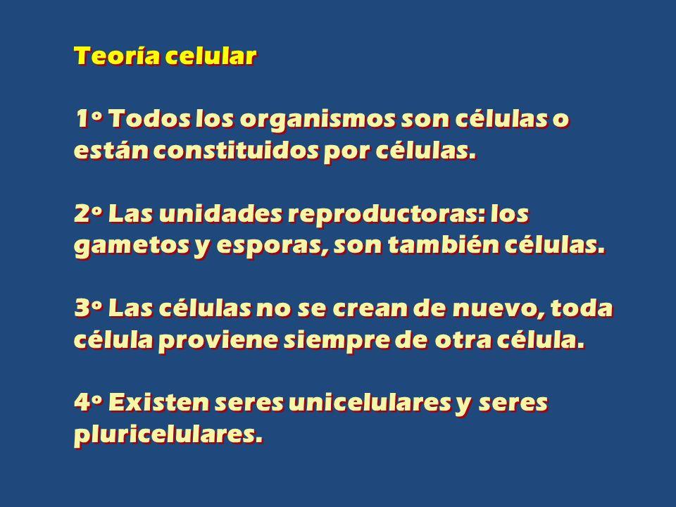 Teoría celular 1º Todos los organismos son células o están constituidos por células. 2º Las unidades reproductoras: los gametos y esporas, son también