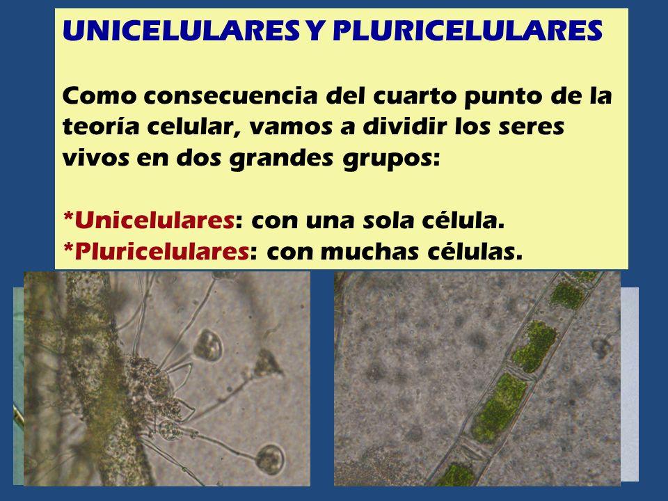 UNICELULARES Y PLURICELULARES Como consecuencia del cuarto punto de la teoría celular, vamos a dividir los seres vivos en dos grandes grupos: *Unicelu