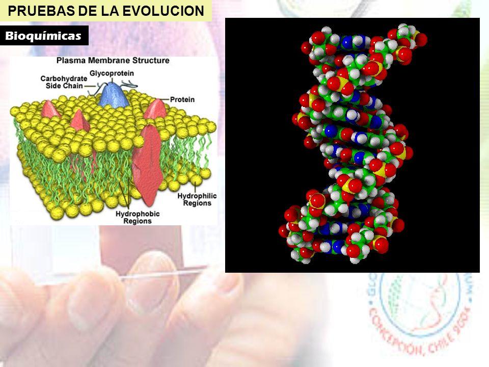 PRUEBAS DE LA EVOLUCION Anatómicas