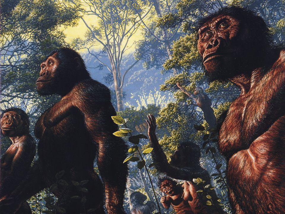 Hace 4 m.a. apareció Australopithecus anamensis, que ya era bípedo con total seguridad. Entre 3.5 y 3 m.a. atrás vivó Australopithecus afarensis y ent