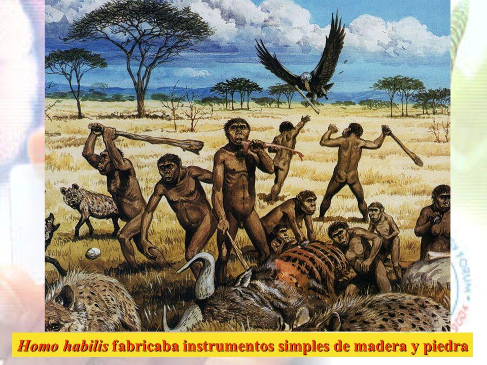 Homo habilis vivió en África entre hace 1.8 y 1.6 m.a. y utilizaba instrumentos de piedra tallada muy simples que consisten en cantos y rocas tallados