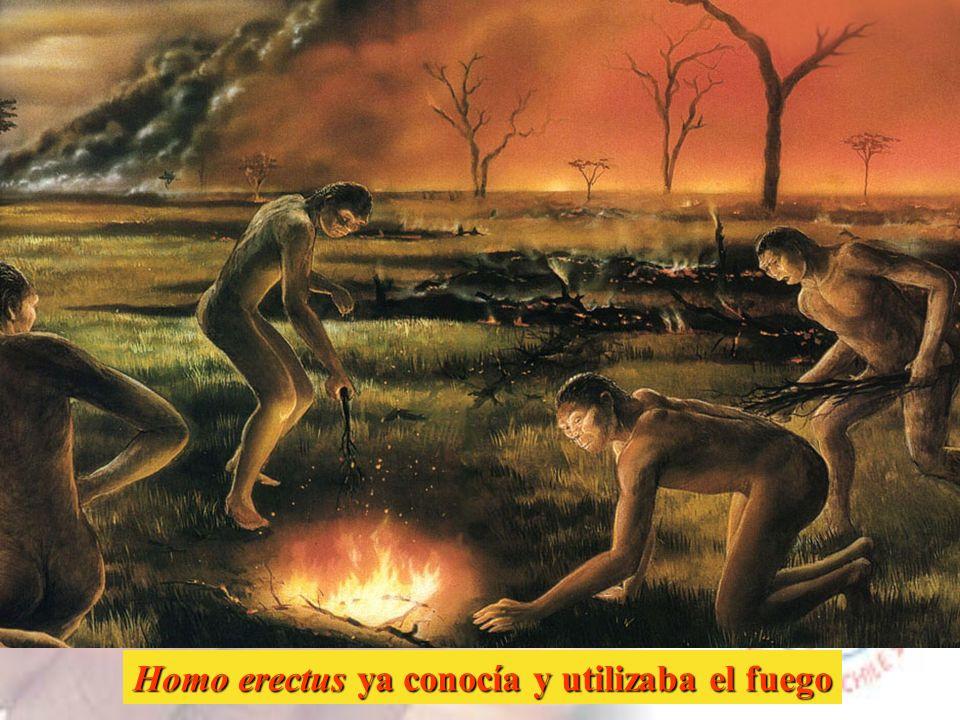 La denominación Homo erectus se reserva a los fósiles encontrados en Asia (China y Java) y se considera una especie que evolucionó a partir del H. erg