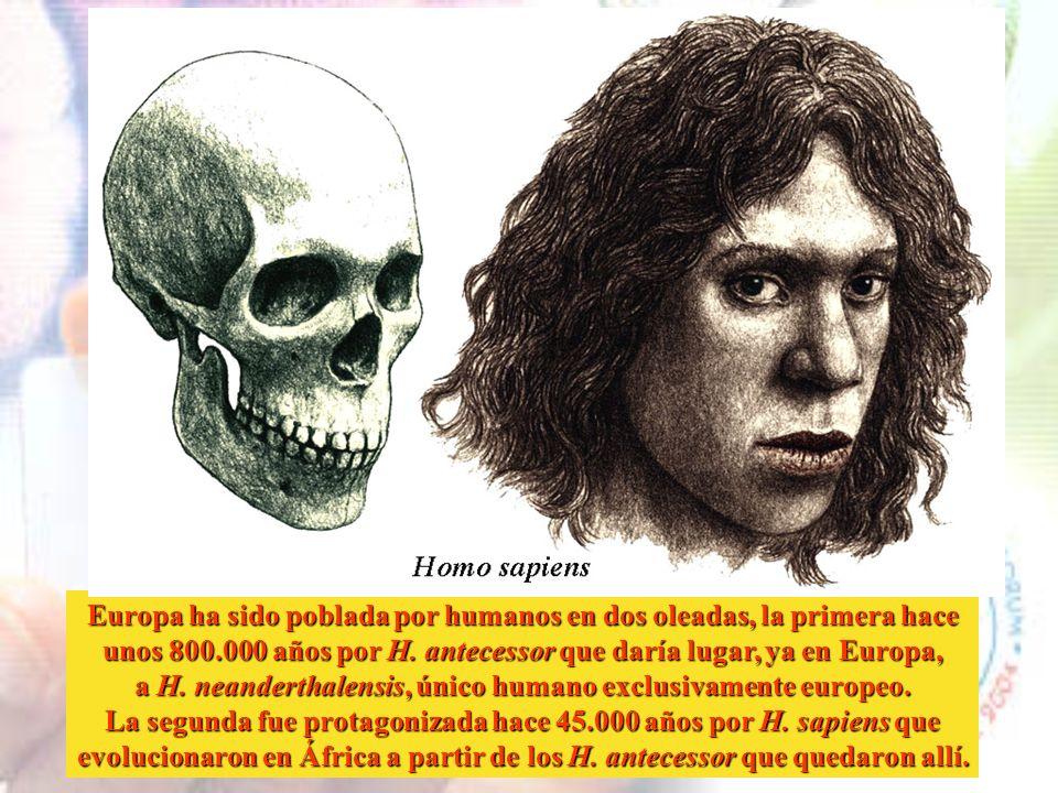 H. ergaster dio lugar a H. erectus por un lado y a H. antecessor por otro. Y a su vez, H. antecessor dio lugar a H. neanderthalensis y a H. sapiens, q