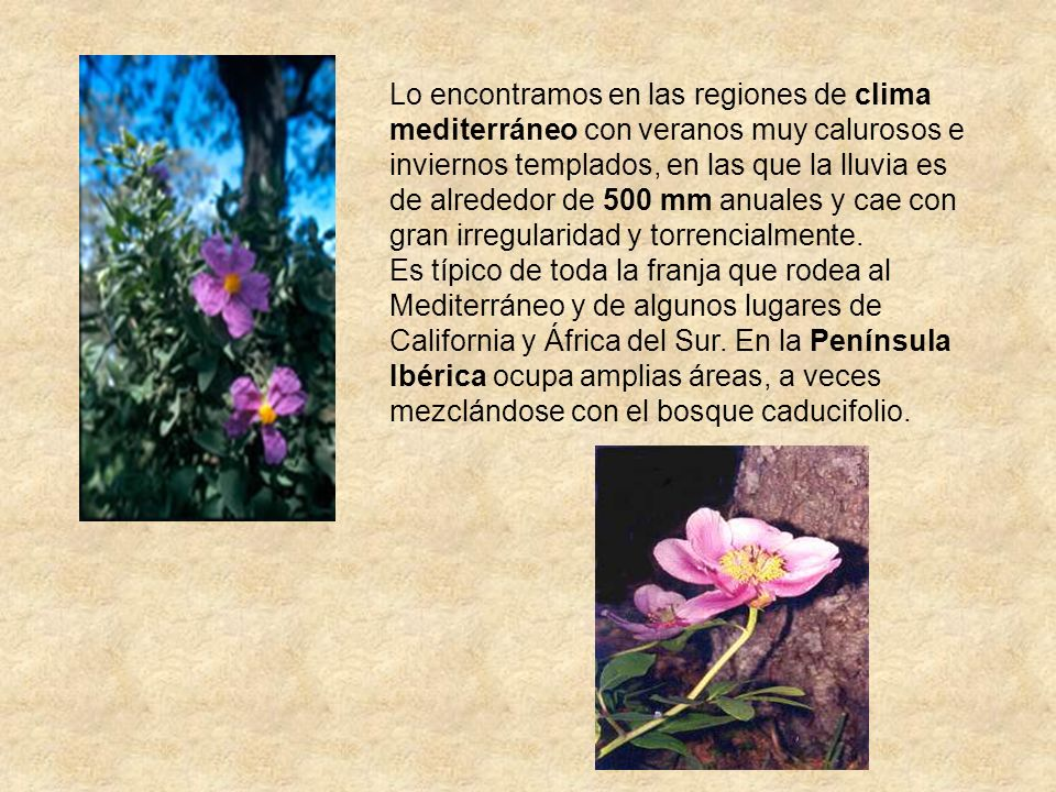 Lo encontramos en las regiones de clima mediterráneo con veranos muy calurosos e inviernos templados, en las que la lluvia es de alrededor de 500 mm anuales y cae con gran irregularidad y torrencialmente.