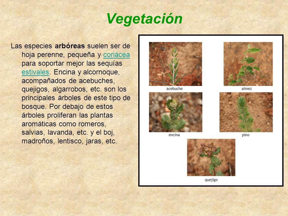 Vegetación Las especies arbóreas suelen ser de hoja perenne, pequeña y coriácea para soportar mejor las sequías estivales.
