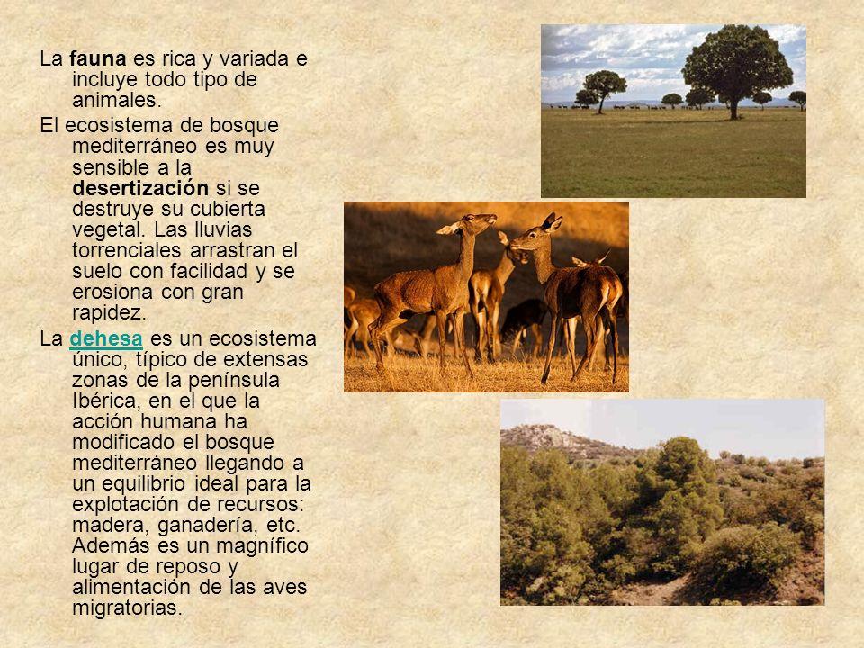 Vegetación Las especies arbóreas suelen ser de hoja perenne, pequeña y coriácea para soportar mejor las sequías estivales. Encina y alcornoque, acompa