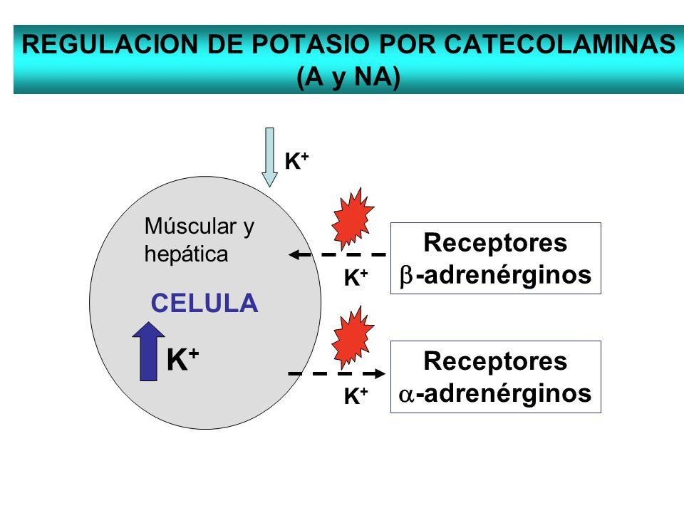 REGULACION DE POTASIO POR CATECOLAMINAS (A y NA) CELULA K+K+ K+K+ Receptores -adrenérginos K+K+ Múscular y hepática Receptores -adrenérginos K+K+