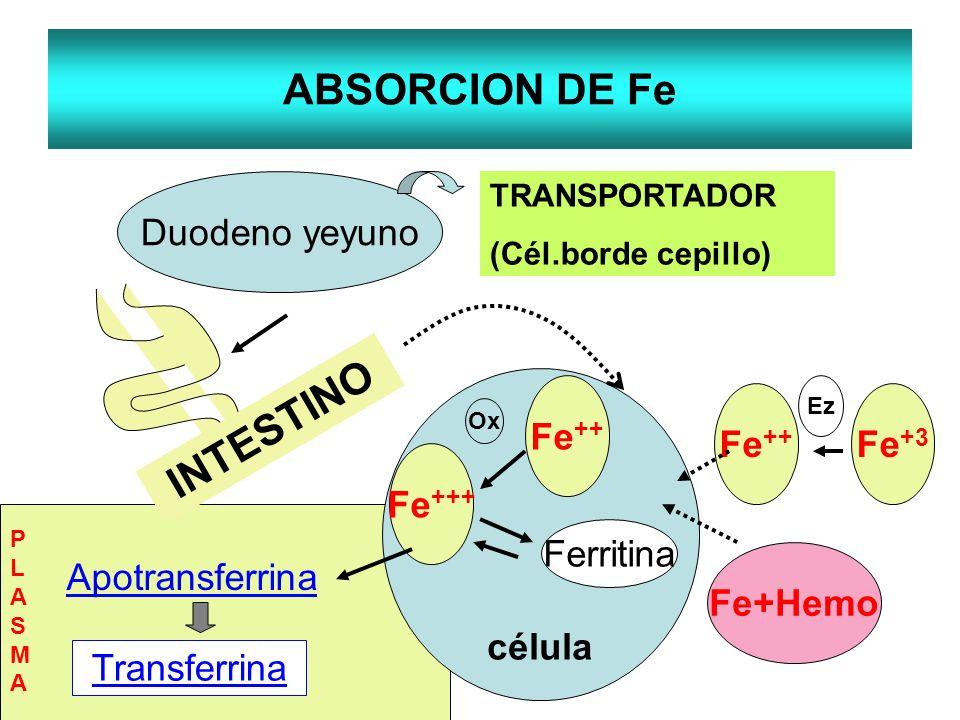 ABSORCION DE Fe INTESTINO Duodeno yeyuno TRANSPORTADOR (Cél.borde cepillo) célula Fe ++ Fe+Hemo Fe ++ Fe +++ Ferritina Ox Apotransferrina Transferrina
