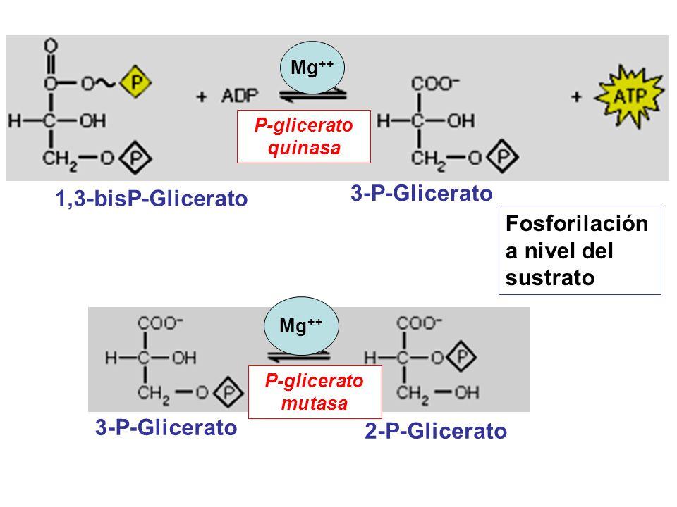 1,3-bisP-Glicerato 3-P-Glicerato P-glicerato quinasa Fosforilación a nivel del sustrato Mg ++ 3-P-Glicerato 2-P-Glicerato P-glicerato mutasa Mg ++