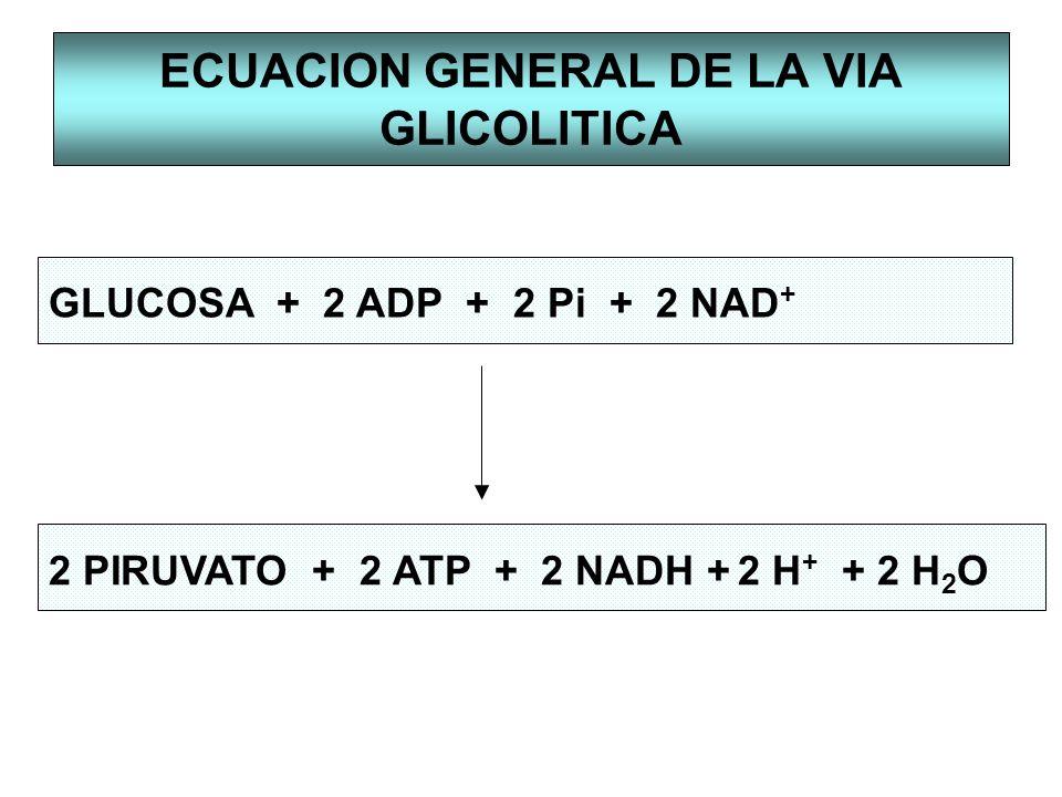 ECUACION GENERAL DE LA VIA GLICOLITICA GLUCOSA + 2 ADP + 2 Pi + 2 NAD + 2 PIRUVATO + 2 ATP + 2 NADH + 2 H + + 2 H 2 O