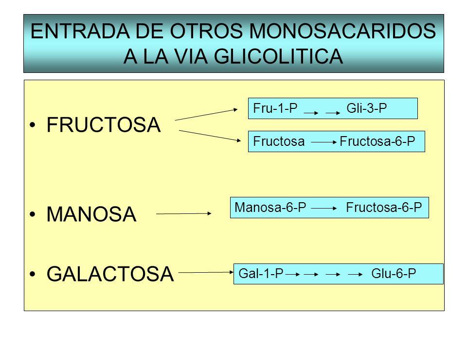 ENTRADA DE OTROS MONOSACARIDOS A LA VIA GLICOLITICA FRUCTOSA MANOSA GALACTOSA Gal-1-P Glu-6-P Fru-1-PGli-3-P Fructosa Fructosa-6-P Manosa-6-P Fructosa