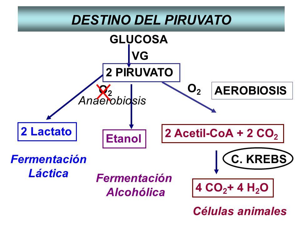 GLUCOSA 2 PIRUVATO VG AEROBIOSIS O2O2 Fermentación Alcohólica Fermentación Láctica Etanol 2 Lactato 2 Acetil-CoA + 2 CO 2 4 CO 2 + 4 H 2 O C. KREBS Cé