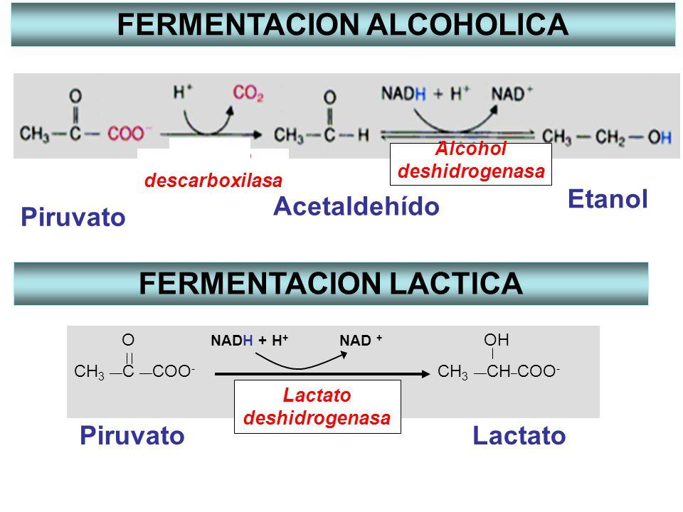 Piruvato Acetaldehído Etanol Alcohol deshidrogenasa Piruvato descarboxilasa FERMENTACION ALCOHOLICA O NADH + H + NAD + OH CH 3 __ C __ COO - CH 3 __ C