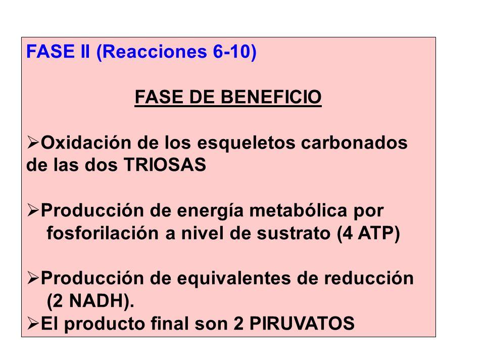 FASE II (Reacciones 6-10) FASE DE BENEFICIO Oxidación de los esqueletos carbonados de las dos TRIOSAS Producción de energía metabólica por fosforilaci