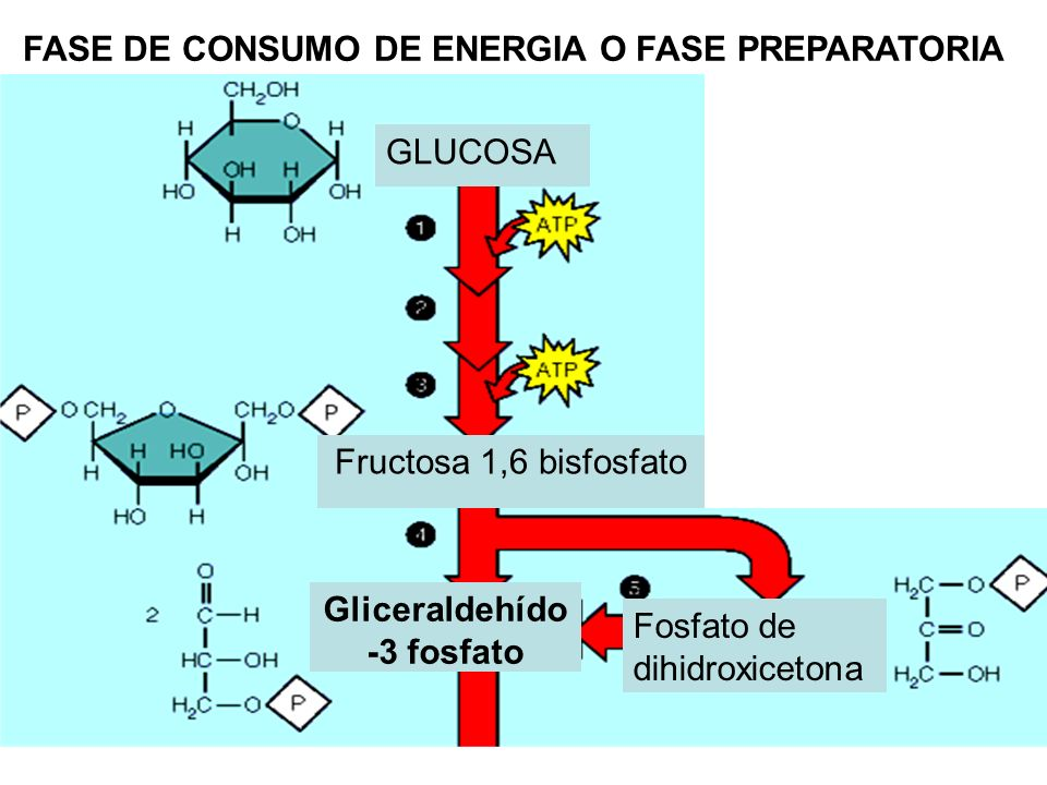 GLUCOSA Gliceraldehído -3 fosfato Fosfato de dihidroxicetona FASE DE CONSUMO DE ENERGIA O FASE PREPARATORIA Fructosa 1,6 bisfosfato