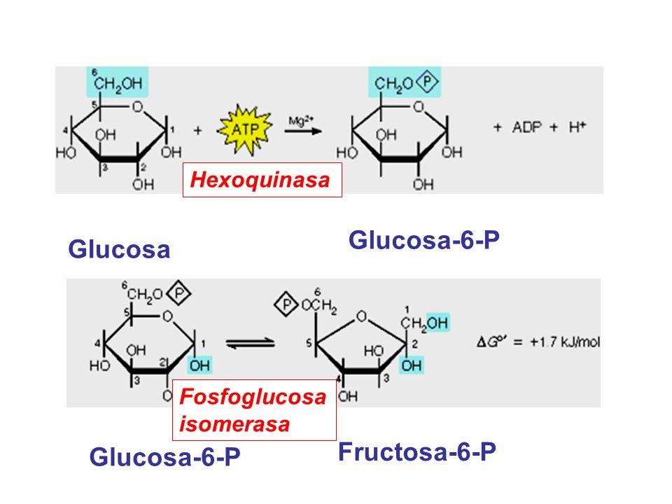 Fructosa-1, 6-bisP Gliceralde- hído-3-P Fosfato dihidroxicetona Aldolasa Fructosa-6-P Fructosa- 1, 6-bisP Fosfotructo quinasa Mg ++