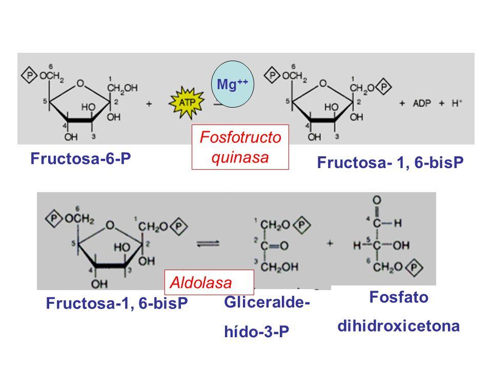 Gliceraldehído-3-P Fosfato dihidroxicetona Triosa fosfato isomerasa Gliceraldehido-3-P 1,3-bisP-Glicerato Gliceraldehído-3-P deshidrogenasa