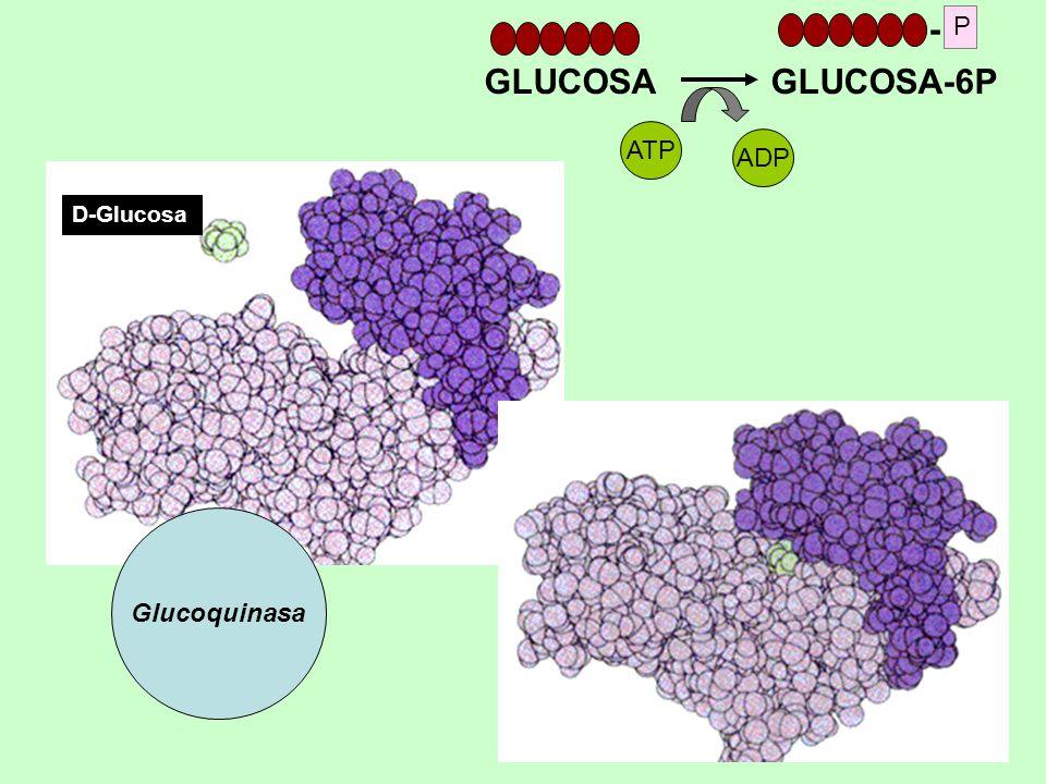 D-Glucosa Glucoquinasa GLUCOSA GLUCOSA-6P ATP ADP - P