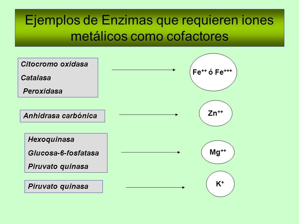 Ejemplos de Enzimas que requieren iones metálicos como cofactores Citocromo oxidasa Catalasa Peroxidasa Fe ++ ó Fe +++ Anhidrasa carbónica Zn ++ Piruv