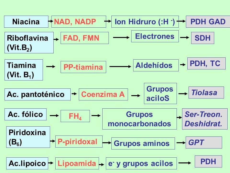 NiacinaNAD, NADPIon Hidruro (:H - )PDH GAD Riboflavina (Vit.B 2 ) FAD, FMN Electrones SDH Tiamina (Vit. B 1 ) PP-tiamina Aldehídos PDH, TC Ac. fólico