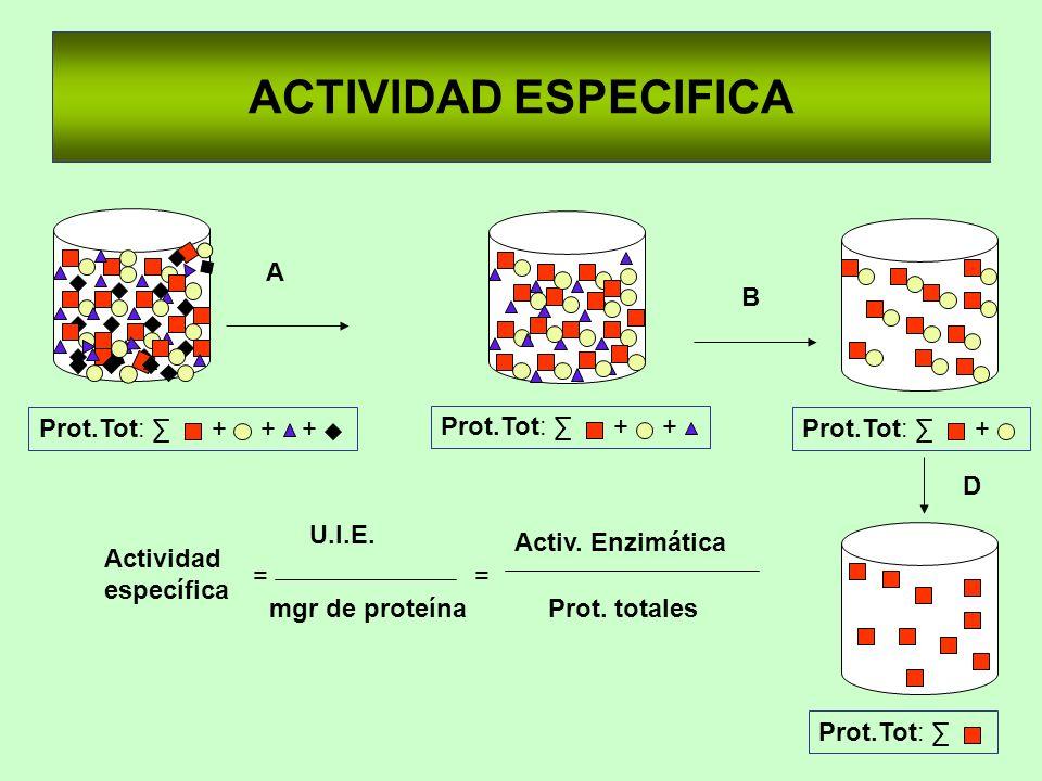 ACTIVIDAD ESPECIFICA ++ Prot.Tot: + + + A B + D Actividad específica U.I.E. mgr de proteína == Activ. Enzimática Prot. totales