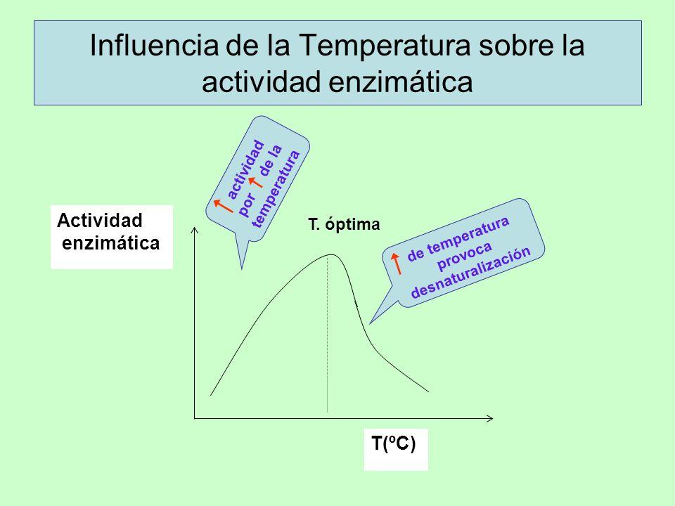 Influencia de la Temperatura sobre la actividad enzimática T(ºC) Actividad enzimática T. óptima actividad por de la temperatura de temperatura provoca