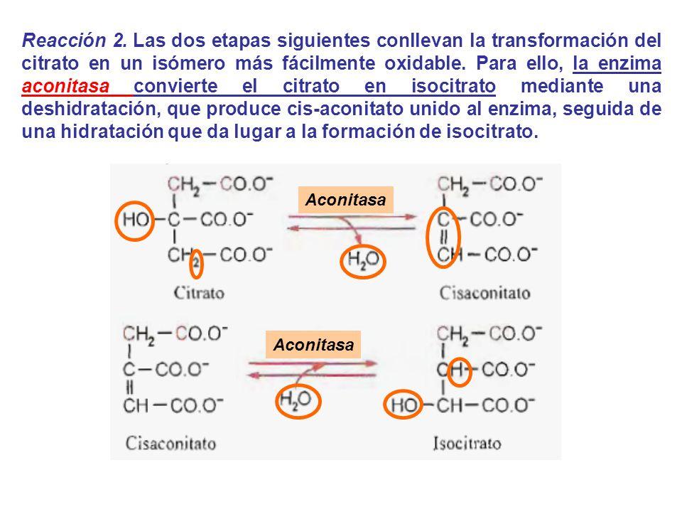 Aconitasa Reacción 2. Las dos etapas siguientes conllevan la transformación del citrato en un isómero más fácilmente oxidable. Para ello, la enzima ac