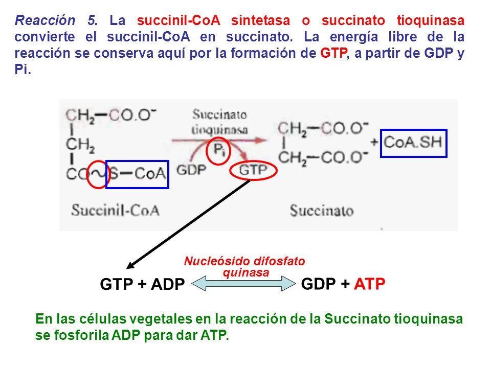 Reacción 5. La succinil-CoA sintetasa o succinato tioquinasa convierte el succinil-CoA en succinato. La energía libre de la reacción se conserva aquí