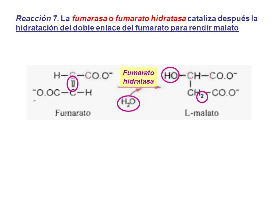 Reacción 7. La fumarasa o fumarato hidratasa cataliza después la hidratación del doble enlace del fumarato para rendir malato Fumarato hidratasa