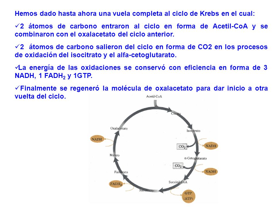 Hemos dado hasta ahora una vuela completa al ciclo de Krebs en el cual: 2 átomos de carbono entraron al ciclo en forma de Acetil-CoA y se combinaron c
