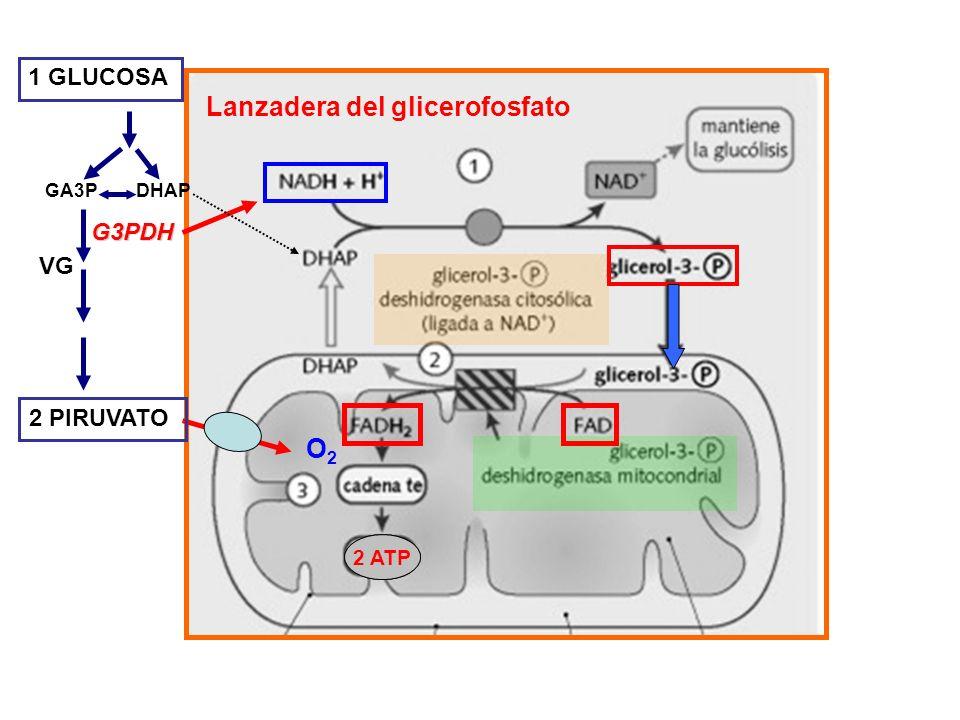 Lanzadera del glicerofosfato 2 ATP 1 GLUCOSA 2 PIRUVATO VG G3PDH DHAPGA3P 2 ATP O2O2
