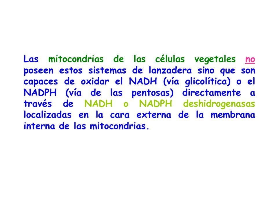 Las mitocondrias de las células vegetales no poseen estos sistemas de lanzadera sino que son capaces de oxidar el NADH (vía glicolítica) o el NADPH (v