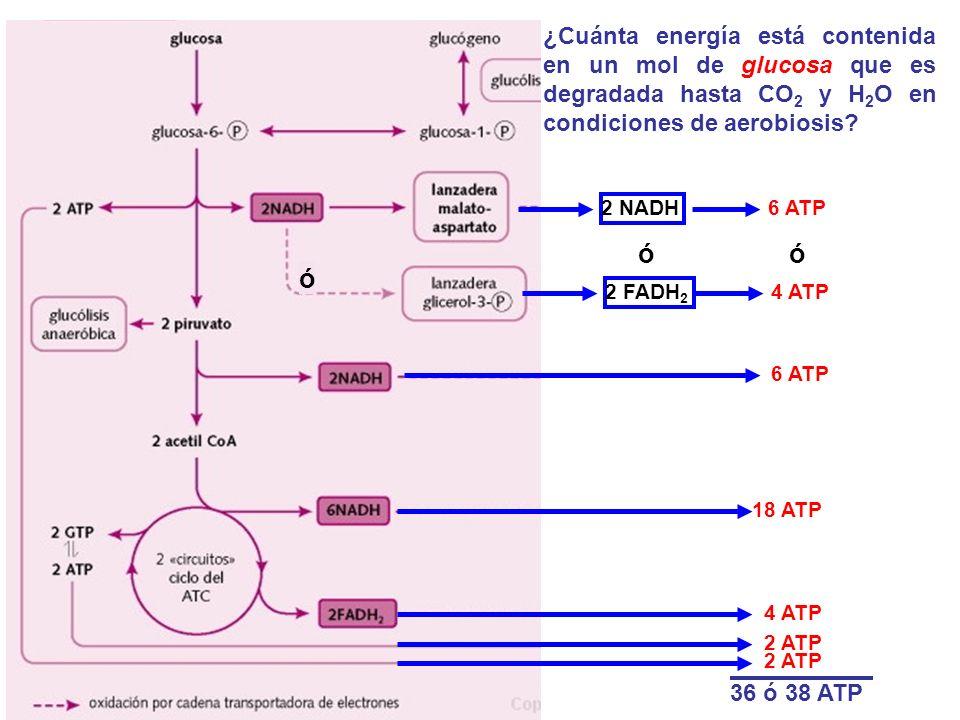 ¿Cuánta energía está contenida en un mol de glucosa que es degradada hasta CO 2 y H 2 O en condiciones de aerobiosis? 2 NADH 6 ATP 2 FADH 2 4 ATP 6 AT