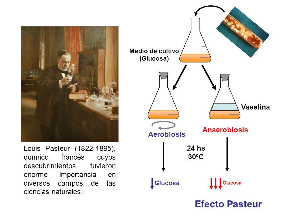 Efecto Pasteur Louis Pasteur (1822-1895), químico francés cuyos descubrimientos tuvieron enorme importancia en diversos campos de las ciencias natural