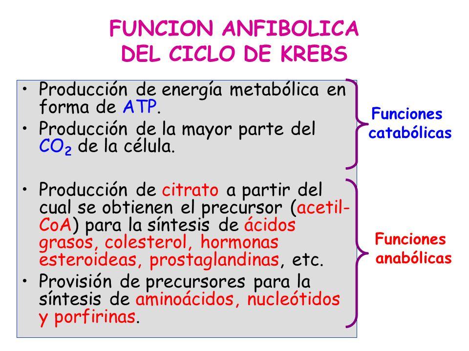FUNCION ANFIBOLICA DEL CICLO DE KREBS Producción de energía metabólica en forma de ATP. Producción de la mayor parte del CO 2 de la célula. Producción