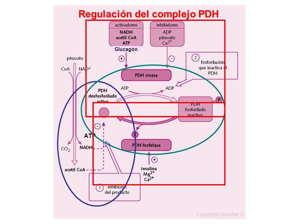 ATP Glucagón Regulación del complejo PDH
