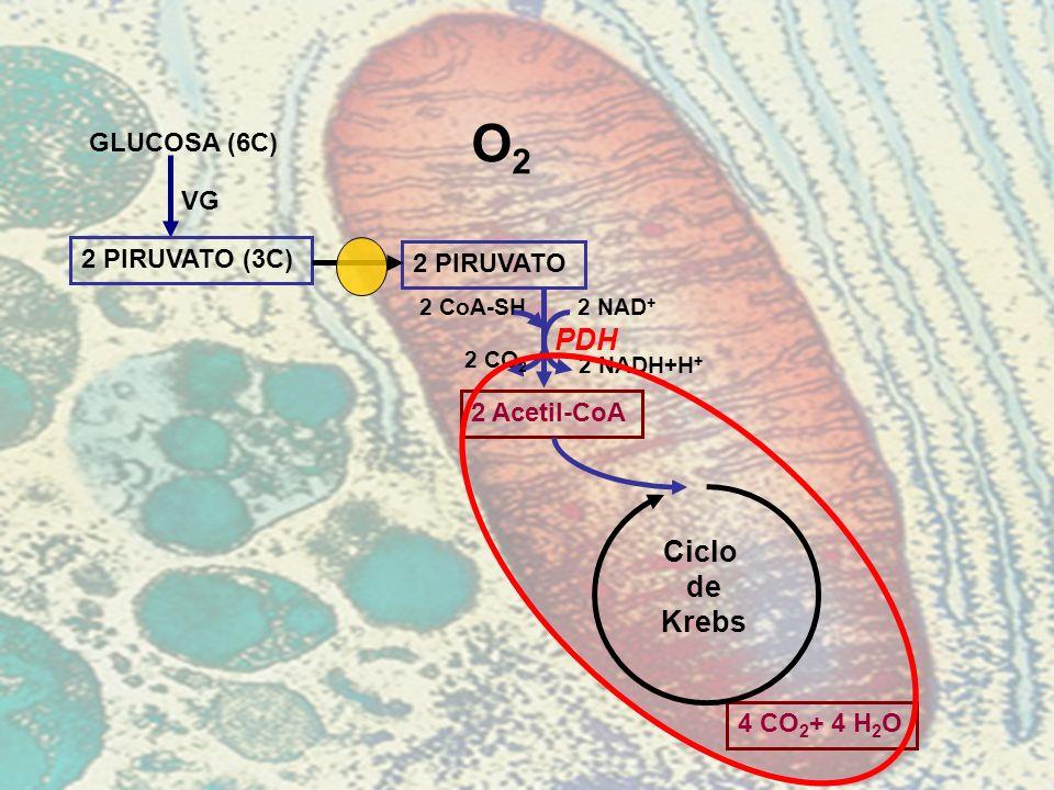 GLUCOSA (6C) 2 PIRUVATO (3C) VG O2O2 2 PIRUVATO 4 CO 2 + 4 H 2 O Ciclo de Krebs 2 Acetil-CoA PDH 2 NAD + 2 NADH+H + 2 CoA-SH 2 CO 2