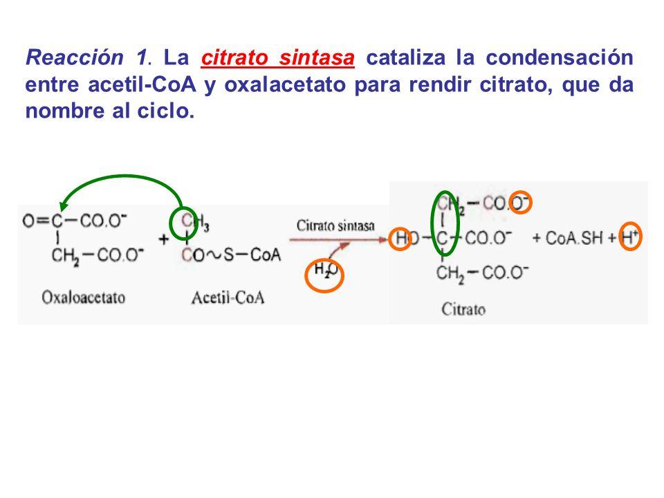Reacción 1. La citrato sintasa cataliza la condensación entre acetil-CoA y oxalacetato para rendir citrato, que da nombre al ciclo.