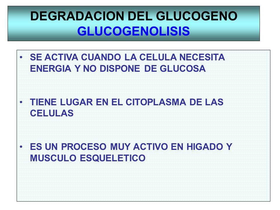 DEGRADACION DEL GLUCOGENO GLUCOGENOLISIS SE ACTIVA CUANDO LA CELULA NECESITA ENERGIA Y NO DISPONE DE GLUCOSA TIENE LUGAR EN EL CITOPLASMA DE LAS CELUL