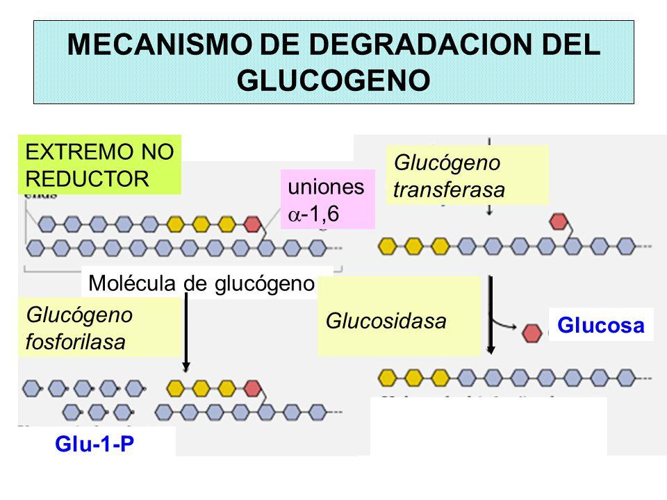 MECANISMO DE DEGRADACION DEL GLUCOGENO EXTREMO NO REDUCTOR Molécula de glucógeno Glucógeno fosforilasa Glu-1-P uniones -1,6 Glucógeno transferasa Gluc