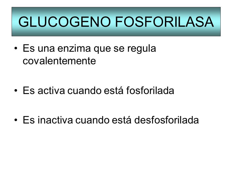 GLUCOGENO FOSFORILASA Es una enzima que se regula covalentemente Es activa cuando está fosforilada Es inactiva cuando está desfosforilada
