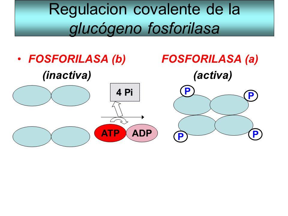 Regulacion covalente de la glucógeno fosforilasa FOSFORILASA (b)FOSFORILASA (a) (inactiva) (activa) P P P P ADPATP 4 Pi