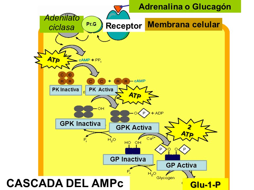 CASCADA DEL AMPc Adrenalina o Glucagón Adenilato ciclasa Receptor Membrana celular Pr.G PK InactivaPK Activa GPK Inactiva GPK Activa GP Inactiva GP Ac