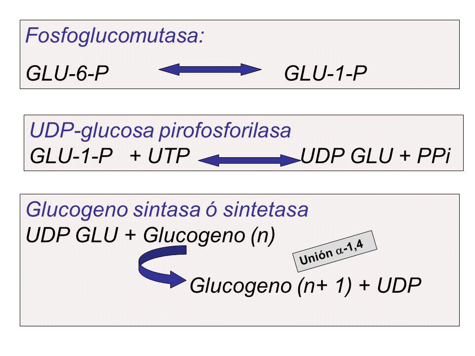 Fosfoglucomutasa: GLU-6-P GLU-1-P UDP-glucosa pirofosforilasa GLU-1-P + UTP UDP GLU + PPi Glucogeno sintasa ó sintetasa UDP GLU + Glucogeno (n) Glucog