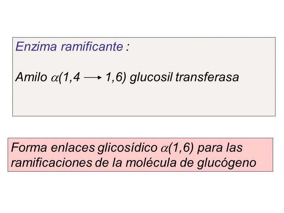 Enzima ramificante : Amilo (1,4 1,6) glucosil transferasa Forma enlaces glicosídico (1,6) para las ramificaciones de la molécula de glucógeno