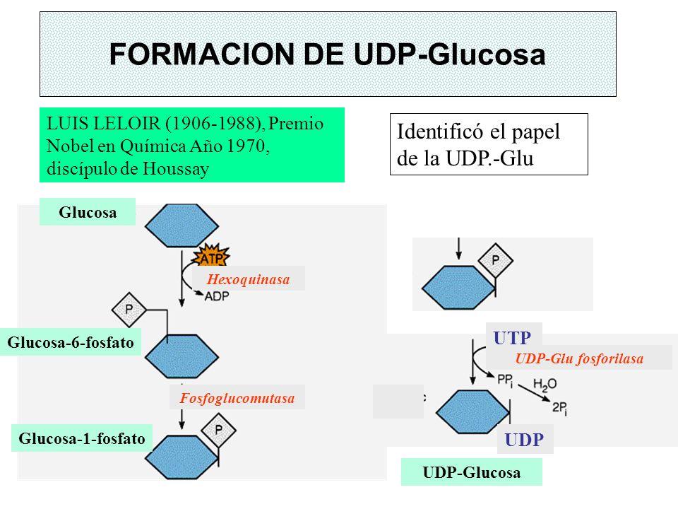 FORMACION DE UDP-Glucosa LUIS LELOIR (1906-1988), Premio Nobel en Química Año 1970, discípulo de Houssay Identificó el papel de la UDP.-Glu Glucosa-1-
